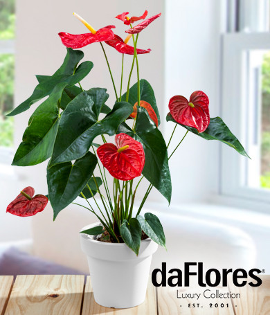 Red Anthurium Plant